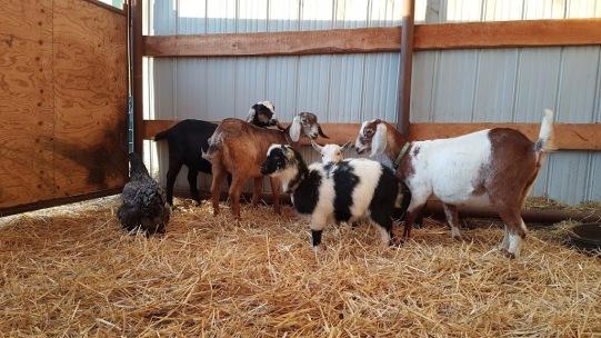 goats4